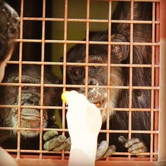 Day 68 - The chimps love getting fresh tomatoes straight off the vine from their garden! Missy #chimpanzee is on the right of the photo and Jamie on the left. They are clinging to the fencing in front of the window that looks out over the garden. #100happydays #chimpsanctuarynw