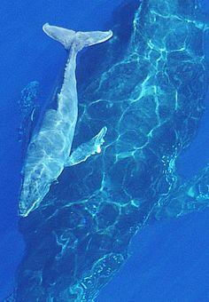 Baleine et baleineau (île de la Réunion) by Romain Philippon on Flickr.