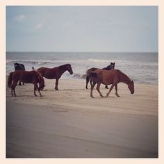 Wild Horses in Corolla - Photo by jdebner10