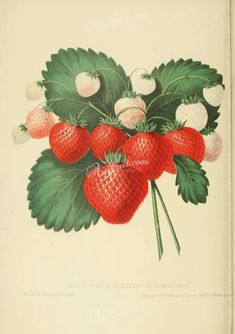 fruits-03879 - Hovey's Seedling Strawberry [2719x3860]