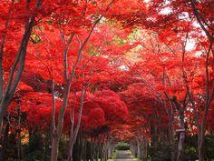 モミジのトンネルとイチョウ並木が美しい札幌紅葉巡り   北海道宝島トラベル