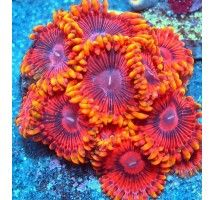 Palythoa Coral Polaris