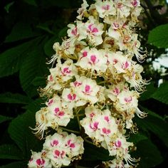 A remedy that can guide you through your darkest hours. BACH FLOWER ESSENCE - Sweet Chestnut The Deliverance Flower | I LOVE HOMEOPATHY http://ift.tt/1sMrYSu