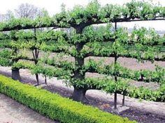 Deep Green Permaculture's - How to set up an Espalier Support/Trellis on a wall or fence. Very good article.