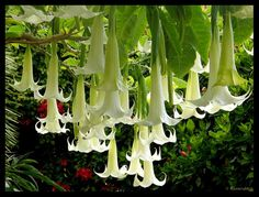 Brugmansia is a genus of seven species of flowering plants in the family Solanaceae. Their large, fragrant flowers give them their common name of angel's trumpets. Love Garden, Dream Garden, Angel Trumpet Plant, Dinosaur Plant, White Flowers, Beautiful Flowers, Trumpet Lily, Cottage Garden Plants, Palmiers