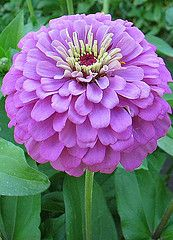 Purple Zinnia - Purple Zipperheads by Live Mulch - Groovy Ground Covers by Seed #zinnia #purple zinnia