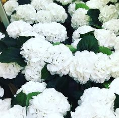 Clouds of white fluffy hydrangeas for one of this weekends weddings