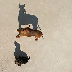 #dachshund