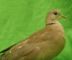 1000 Images About Ringneck Dove On Pinterest Humane Society Adoption And Pets For Adoption