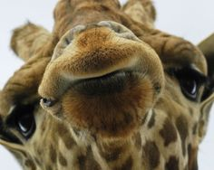 :) Love giraffs .. just plain old cuteness