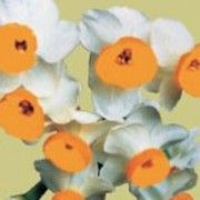 Narcissus tazetta (Chinese sacred lily) Click image to learn more, add to your lists and get care advice reminders each month.