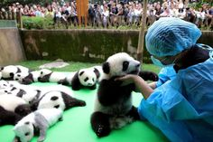 Panda cub falls from stage as 23 baby bears make their debut in China - ABC News (Australian Broadcasting Corporation)