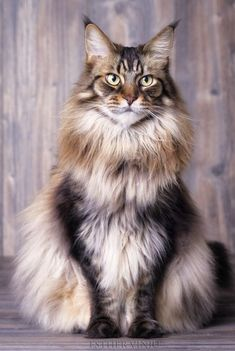 Are we done yet..? by esthervinju rokuthecat http://www.mainecoonguide.com/fun-facts-maine-coon-cats/