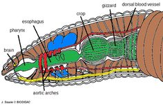 Earthworm Labeling   Bewitching Biology   Pinterest ...