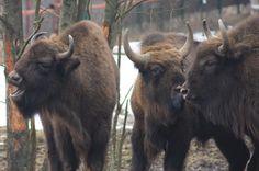 Our bisons / Nasze żubry