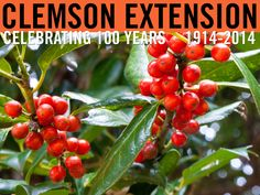 Do's and Don't of Holiday Decorating With Fresh Greenery #ClemsonExt100