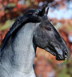 Murgese Carletto keeps getting better and better! Italy's amazing young blue roan Cavallo Razza Murgese stallion is perhaps the only example of his breed to be competing in international dressage today.