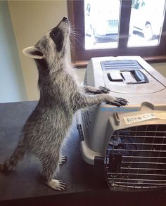 """2,982 Likes, 20 Comments - Tito the Raccoon (@titotheraccoon) on Instagram: """"Look how tall I am when I stretch like this!"""""""
