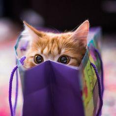 Kitten in the shopping bag