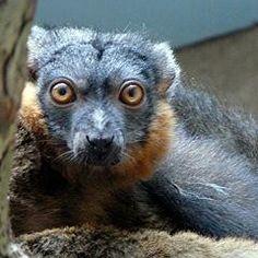 Lemur, Collared at Cleveland Zoo Cleveland, OH Cleveland Zoo, New World Monkey, Cleveland Metroparks, Cheetahs, Tortoises, Lemur, Kids Events, Primates, Animal Kingdom