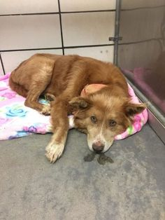 What a sad face. Sadly, there isn't much known about this sweet older pup, who has been de Shelter Dogs, Animal Shelter, Rescue Dogs, Animal Rescue, Chocolate Lab Puppies, Sad Faces, Labrador Retriever Mix, Dog Care, Dogs And Puppies