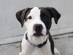 SAFE 5-25-2015  --- Brooklyn Center SPARK – A1036812 MALE, WHITE / BROWN, PIT BULL MIX, 7 mos OWNER SUR – EVALUATE, NO HOLD Reason CHILDCONFL Intake condition EXAM REQ Intake Date 05/18/2015