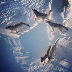 """""""Five of the Nenana River. Wolf pack howl in early morning light on the edge of…"""