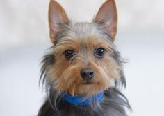 Petango.com – Meet Benny, a 10 months 14 days Terrier, Yorkshire / Chihuahua, Short Coat available for adoption in COLORADO SPRINGS, CO. Call (719) 445-6787 to speak to an adoption representative at National Mill Dog Rescue.