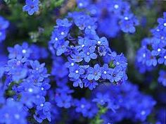 Old Fashioned Forget Me Not Bluebird Perennial by CheapSeeds, $2.99