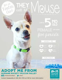 CHIHUAHUA MIX PUPPY AVAILABLE FOR ADOPTION | Mouse A#: 118655 - Humane Society Silicon Valley - Milpitas, California