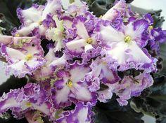 Zolushkin Son~African Violet~Plant~Russsian Variety | eBay