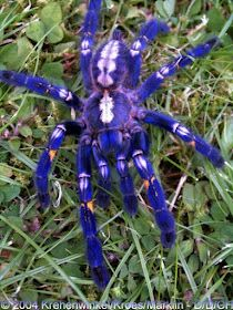 Sapphire ornamental tree spider a type of tarantula . rare but deadly