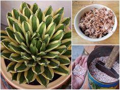 Egy teáskanál cukrot szórt a növények földjére mielőtt megöntözte, azóta rengeteg virágot hoznak! - Bidista.com - A TippLista! Kustom, Planting Flowers, Diy And Crafts, Succulents, Gardening, Plant, Lawn And Garden, Succulent Plants, Horticulture