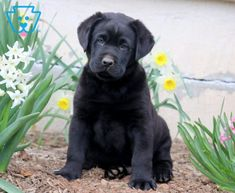 Panther | Labrador Retriever - Black Puppy For Sale | Keystone Puppies Black Puppy, Black Lab Puppies, Thing 1, Black Labs, Design Development, Puppies For Sale, Panther, Labrador Retriever, Pets