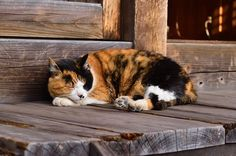 A Beautiful Calico Country Cat Taking a Rest.