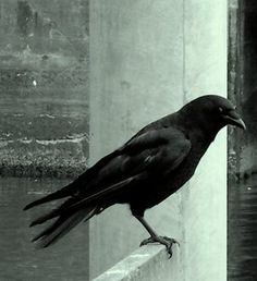 a regardful crow