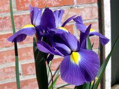Iris olandese viola