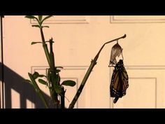 Monarch Butterfly Eclosing - REAL TIME - The First Eight MInutes of a Monarch's Life - YouTube