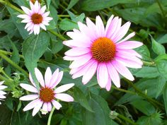 Echinacea - also known as the Purple Coneflower. A range plant that horses have been know to graze. Can be found in herbal blends for both horses and humans.