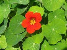Lichořeřišnice - účinky, vliv na lidské zdraví, využití, sběr, pěstování - Bylinky pro všechny