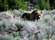 Federal agencies are exploring how to restore grizzlies in the North Cascades of Washington.