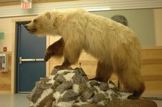 Grolar - grizzly/polar bear hybrids spotted in the Canadian arctic. Due to global warming grizzlies are moving further north into polar bear habitat and some are mating...........