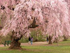 http://3.bp.blogspot.com/-DA8DoC_iRFk/TcKEU7yX_HI/AAAAAAAAAdM/JHFHBIr8g3A/s1600/cherry-blossoms.jpg