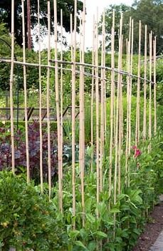 Sweet Peas growing up canes in vegetable garden - Preen Manor, Shropshire