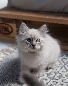 Ilu, kitten neva a 21 33 blue tabby