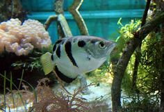 10 Remarkable Animals Beginning with A ~ Archer Fish