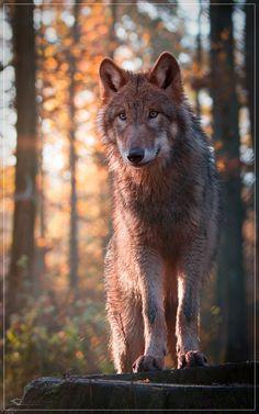 wolf in autumn sunrise