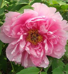 Pivónia drevitá ružová ´YIN HONG QIAO DUI´