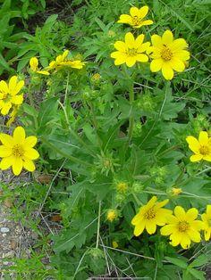 Engelmann Daisy, Cutleaf Daisy--grows here