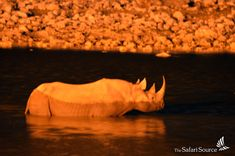 One reason to stay up late when on safari? You just might catch a glimpse of a rhino taking a swim! Himba People, Staying Up Late, Rock Art, Dune, Safari, Wildlife, Take That, Swimming